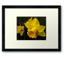 Daffodils, Another Sign of Spring Framed Print