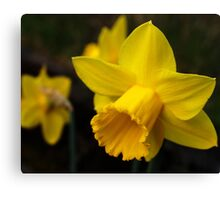 Daffodils, Another Sign of Spring Canvas Print