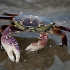 Big Crab - Mooloolaba Beach by helenmentiplay