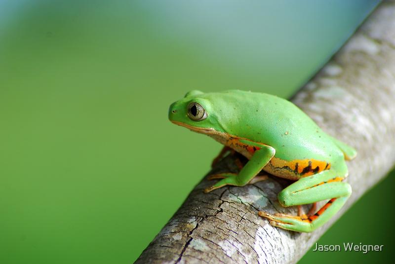 Orange Sided Monkey Frog (Phyllomedusa hypocondrialis) - Bolivia by Jason Weigner