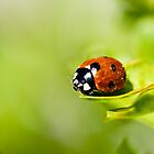 Spring Ladybird by Roger Hall