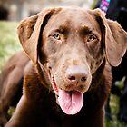 Beautiful chocolate labrador retriever  by WilliamJPhoto