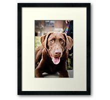 Beautiful chocolate labrador retriever  Framed Print