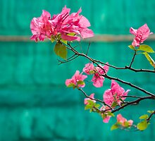 Bougainvillea by dominiquelandau