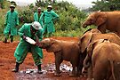 """Slow Coach"": Last Little Elephant to Finish Feeding by Carole-Anne"