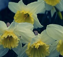 A small collection of wild traditional daffodils  by Kez90