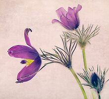 Ranunculus by Streichelweich