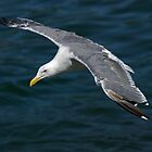Seagull  in Flight by Randall Ingalls