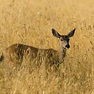 Blacktail Deer in Tall Grass by Randall Ingalls