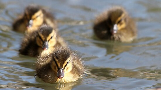 Ducklings by Samantha Higgs