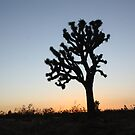 Joshua tree at sunset by jones313