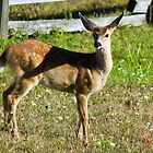 Blacktail Fawn by Randall Ingalls
