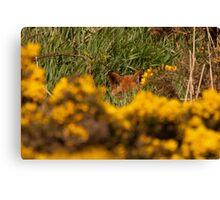 Fox hiding Canvas Print