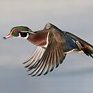 Wood Duck fly-by - Ottawa, Canada. by Daniel Cadieux