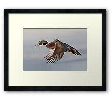 Wood Duck fly-by - Ottawa, Canada. Framed Print