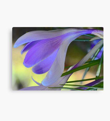 Lavender Crocus - After The Snowstorm Canvas Print