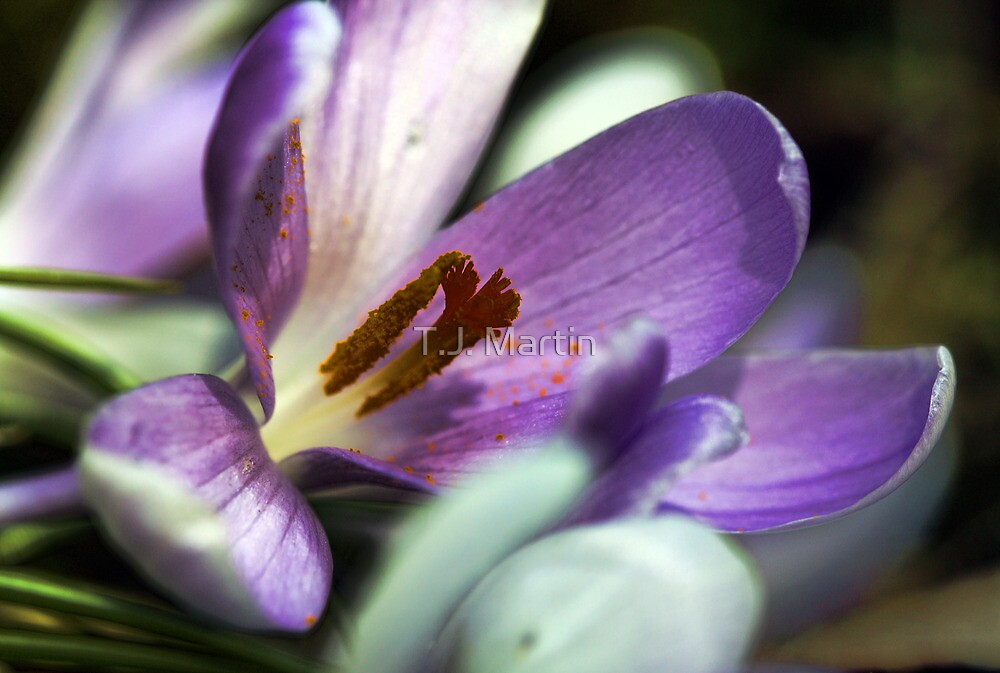 Lavender Crocus - Battered By The Storm by T.J. Martin