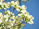 Floral art White Dogwood Tree Flowers Blue Sky Baslee Troutman by BasleeArtPrints