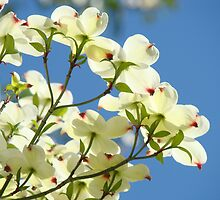 Floral art White Dogwood Tree Flowers Blue Sky Baslee Troutman by BasleeArtPrints