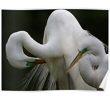 Great White Egret Couple Poster
