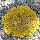 Macro On Yellow Lichen by jams