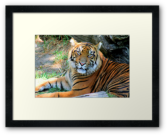 Tiger At Rest - 2009 by Randall Faulkner