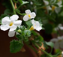 Pretty Little White Flowers by MaryinMaine