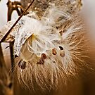 Milkweed by Sue Ratcliffe