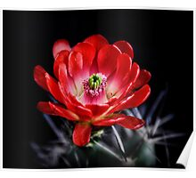 Red Hedgehog Cactus Poster
