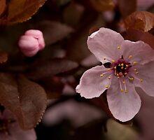 Spring Pink: Cherry Plum by Skye Hohmann
