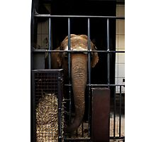 zoo elephant Photographic Print
