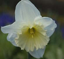 White Daffodil by Loisb