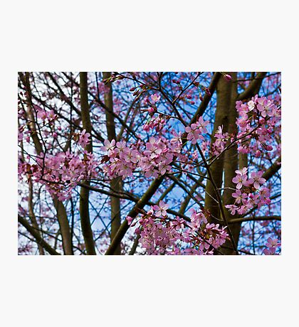 Cherry Blossom  (Spring) Photographic Print