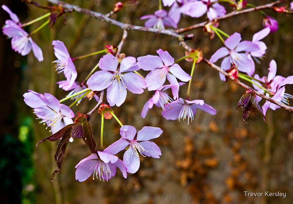 Cherry Blossom  (Spring) #2 by Trevor Kersley