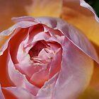Rose Delight - Mary's Beauty by Joy Watson
