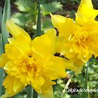 Daffodil Days by leenicola