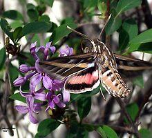 Humming Bird Moth by Carla Jensen