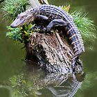Baby Alligator in the Marsh by Paulette1021