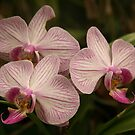 Orchid I by paulinea