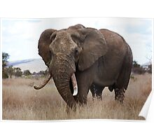 Loxodonta africana Poster