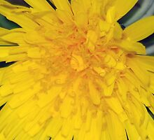 Golden Dandelion by sjlphotography