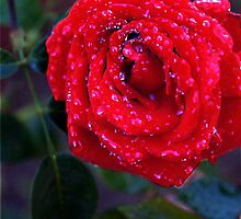 Rose after the rain. by David Kessler