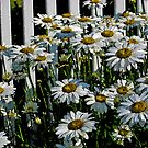 Daisys by chinet