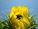Floral art Sunflower Blue Sky Baslee Troutman by BasleeArtPrints