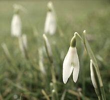 Snowdrops by Matthew Folley