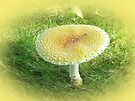 Amanita muscaria - guessowii Mushroom by MotherNature