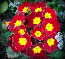 Lovely primroses by daffodil
