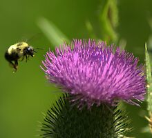 Bumble Bee And Thistle by Jeff Weymier