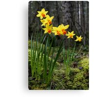daffodils in the woods Canvas Print