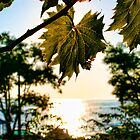 Wine Leaf - Summer in Croatia by Calin Lapugean